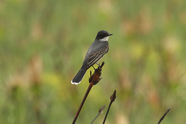 Eastern Kingbird Tyrannus tyrannus Avon Park Air Force Range, Highlands County, Florida 30 March 2019
