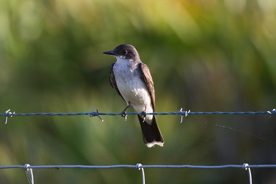 Eastern Kingbird Tyrannus tyrannus Avon Park Air Force Range, Highlands County, Florida 16 July 2017