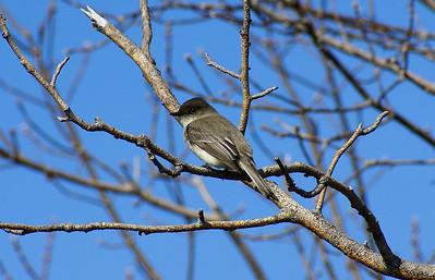 Eastern Phoebe Sayornis phoebe Presqu'ile Provincial Park, Brighton, Ontario 2 April 2009