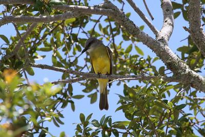 Tropical Kingbird satrapa subspecies Tyrannus melancholicus satrapa St. Armand's Circle, Sarasota, Florida 14 June 2017