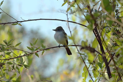 Ash-throated Flycatcher Nominate subspecies Myiarchus cinerascens cinerascens Celery Fields, Sarasota, Florida 03 December 2019