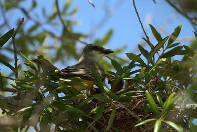 Tropical Kingbird satrapa subspecies Tyrannus melancholicus satrapa St. Armand's Circle, Sarasota, Florida 28 June 2017