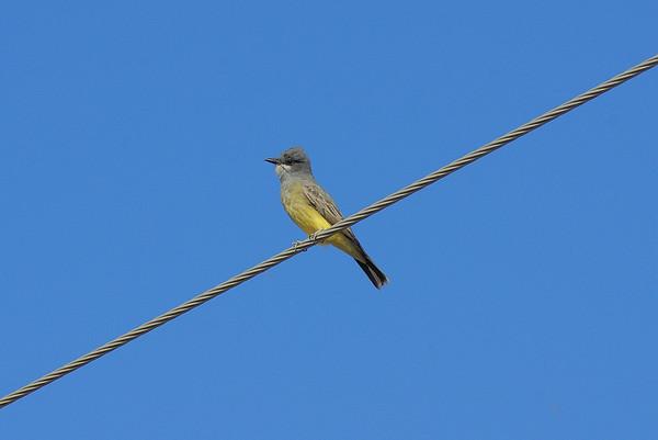 Cassin's Kingbird Nominate subspecies Tyrannus vociferans vociferans Henderson Bird Viewing Preserve, Whitney, Nevada 6 November 2010