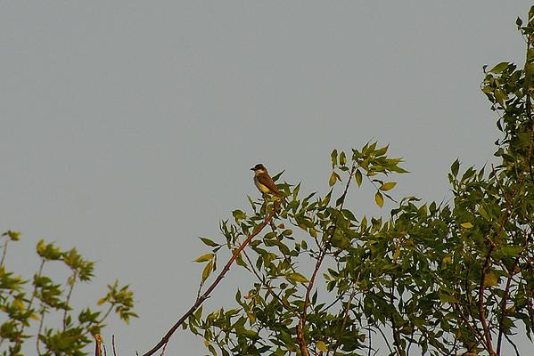 Thick-billed Kingbird Tyrannus crassirostris Calf Pasture Cove, Presqu'ile Provincial Park, Brighton, Ontario 30 August 2012
