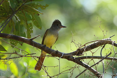 Great Crested Flycatcher Myiarchus crinitus Avon Park Air Force Range, Highlands County, Florida 25 March 2018