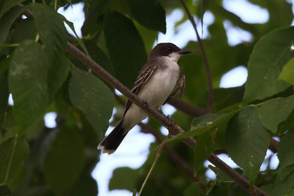 Eastern Kingbird (juvenile) Tyrannus tyrannus Domaine Saint-Paul, Île-des-Soeurs, Québec 6 August 2016