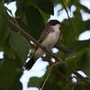 Eastern Kingbird (juvenile)<br> <i>Tyrannus tyrannus</i><br> Domaine Saint-Paul, Île-des-Soeurs, Québec<br> 6 August 2016