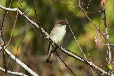 Eastern Phoebe Sayornis phoebe Lake Apopka, Astatula, Florida 22 November 2016