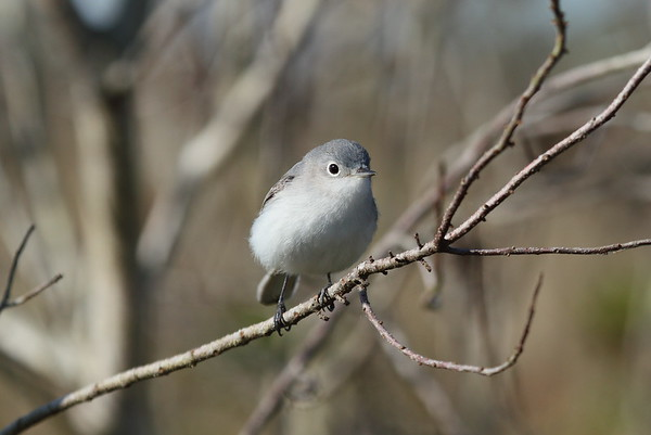 Blue-grey Gnatcatcher Nominate subspecies Polioptila caerulea caerulea Family Polioptilidae Avon Park Air Force Range, Highlands County, Florida 23 March 2018
