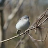 Blue-grey Gnatcatcher<br> Nominate subspecies<br> <i>Polioptila caerulea caerulea</i><br> Family <i>Polioptilidae</i><br> Avon Park Air Force Range, Highlands County, Florida<br> 23 March 2018