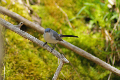 Blue-grey Gnatcatcher Nominate subspecies Polioptila caerulea caerulea Family Polioptilidae Lake Opinicon, Perth Road, Ontario 7 May 2011