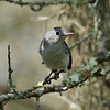 Blue-grey Gnatcatcher<br> Nominate subspecies<br> <i>Polioptila caerulea caerulea</i><br> Family <i>Polioptilidae</i><br> Archbold Biological Station, Venus, Florida<br> 14 September 2016