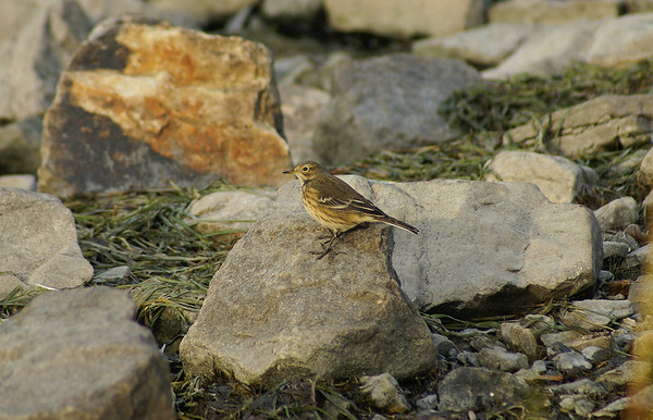 Buff-bellied Pipit Nominate subspecies Anthus rubescens rubescens Family Motacillidae Andrew Haydon Park, Ottawa, Ontario 8 October 2009  Also known as the buff-bellied pipit and water pipit, this species is a common migrant in the Ottawa area during early autumn.