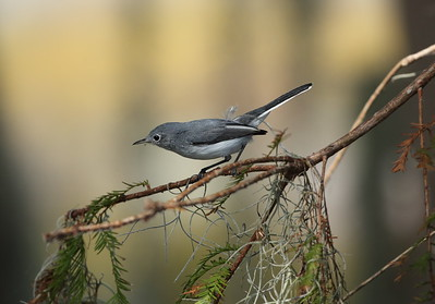Blue-grey Gnatcatcher Nominate subspecies Polioptila caerulea caerulea Family Polioptilidae Circle B Bar Reserve, Lakeland, Florida 11 December 2019
