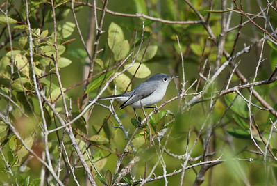 Blue-grey Gnatcatcher Nominate subspecies Polioptila caerulea caerulea Family Polioptilidae North Walk-in-Water Creek, Lake Wales, Florida 19 December 2017