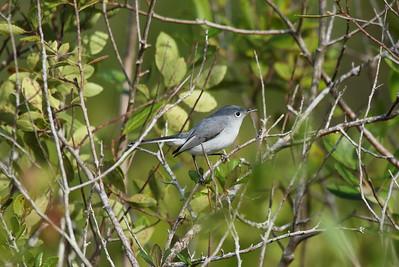 Blue-grey Gnatcatcher Nominate subspecies Polioptila caerulea caerulea Family Polioptilidae North Walk-in-Water Creek, Lake Wales, Florida 19 December 2017