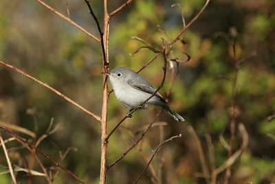 Blue-grey Gnatcatcher Nominate subspecies Polioptila caerulea caerulea Family Polioptilidae Celery Fields, Sarasota, Florida 03 December 2019