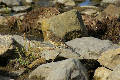 Buff-bellied Pipit Nominate subspecies Anthus rubescens rubescens Family Motacillidae Andrew Haydon Park, Ottawa, Ontario 10 September 2010