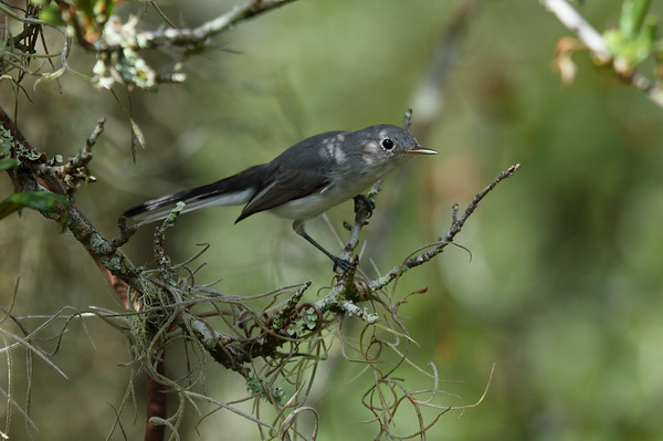 Blue-grey Gnatcatcher Nominate subspecies Polioptila caerulea caerulea Family Polioptilidae Archbold Biological Station, Venus, Florida 14 September 2016