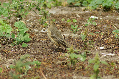 Buff-bellied Pipit Nominate subspecies Anthus rubescens rubescens Family Motacillidae Gull Island, Presqu'ile Provincial Park, Brighton, Ontario 15 September 2010