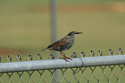 Common Starling Sturnus vulgaris Family Sturnidae Pelican Baseball Complex, Cape Coral, Florida 26 October 2016