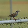 Common Starling<br> <i>Sturnus vulgaris</i><br> Family <i>Sturnidae</i><br> Pelican Baseball Complex, Cape Coral, Florida<br> 26 October 2016