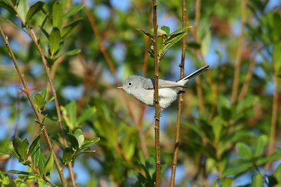 Blue-grey Gnatcatcher Nominate subspecies Polioptila caerulea caerulea Family Polioptilidae Circle B Bar Reserve, Lakeland, Florida 15 November 2017