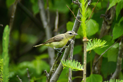 Philadelphia Vireo Vireo philadelphicus North Pole Mountain, Christmas Mountains, New Brunswick 11 July 2010