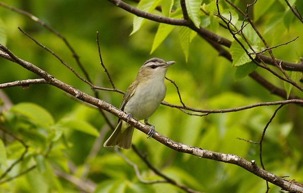 Red-eyed Vireo Nominate subspecies Vireo olivaceus olivaceus Lake Opinicon, Perth Road, Ontario 23 May 2009