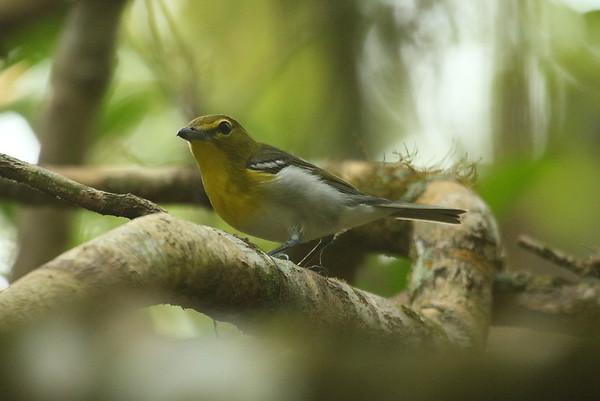 Yellow-throated Vireo Vireo flavifrons Highlands Hammock State Park, Sebring, Florida 4 April 2017