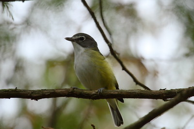 Blue-headed Vireo Nominate subspecies Vireo solitarius solitarius Parc National du Mont-Orford, Orford, Québec 28 September 2017