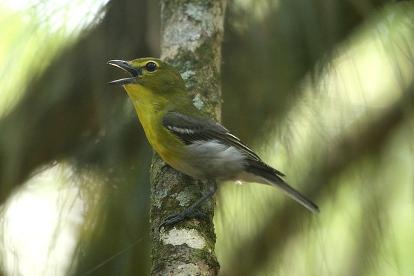 Yellow-throated Vireo Vireo flavifrons Highlands Hammock State Park, Sebring, Florida 4 April 2017