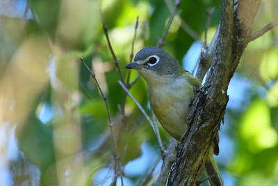 Blue-headed Vireo Nominate subspecies Vireo solitarius solitarius Britannia Conservation Area, Ottawa, Ontario 1 October 2017