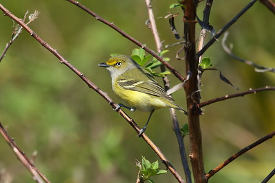 "White-eyed Vireo ""Key West"" subspecies Vireo griseus maynardi Lakeland Highlands Scrub, Lakeland, Florida 15 March 2017"