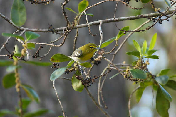 Yellow-throated Vireo Vireo flavifrons Audubon Corkscrew Swamp Sanctuary, Naples, Florida 29 December 2020