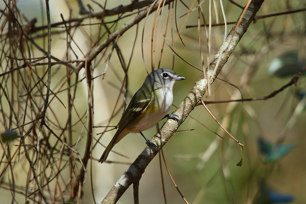 Blue-headed Vireo Nominate subspecies Vireo solitarius solitarius Gator Creek Preserve, Lakeland, Florida 30 January 2018