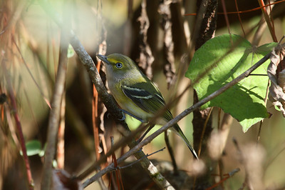"White-eyed Vireo ""Key West"" subspecies Vireo griseus maynardi Circle B Bar Reserve, Lakeland, Florida 13 December 2016"