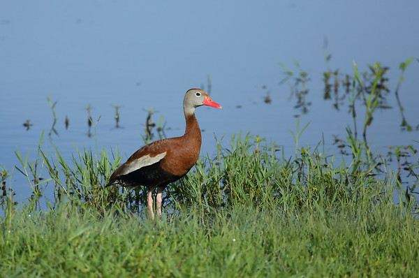 """Black-bellied Whistling Duck """"Northern"""" subspecies Dendrocygna autumnalis fulgens Scrubpens Road, Lorida, Florida 13 July 2021"""