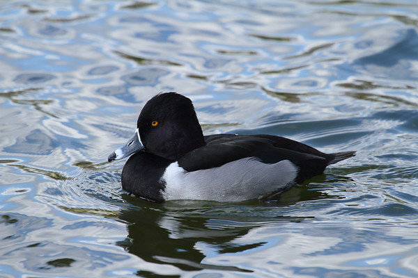 Ring-necked Duck (male) Aythya collaris Lake Mirror, Lakeland, Florida 2 February 2017