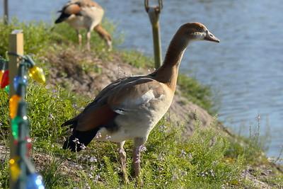 Egyptian Goose Alopochen aegyptiaca SIM Retirement Village, Sebring, Florida 05 January 2021