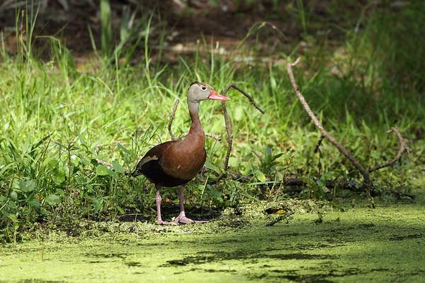 "Black-bellied Whistling Duck ""Northern"" subspecies Dendrocygna autumnalis fulgens Lake Parker Park, Lakeland, Florida 20 June 2020"