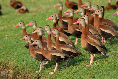 """Black-bellied Whistling Duck """"Northern"""" subspecies Dendrocygna autumnalis fulgens Hack Lake, Bartow, Florida 19 February 2018"""
