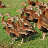"""Black-bellied Whistling Duck<br> """"Northern"""" subspecies<br> <i>Dendrocygna autumnalis fulgens</i><br> Hack Lake, Bartow, Florida<br> 19 February 2018"""