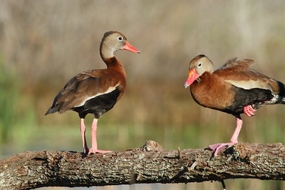 "Black-bellied Whistling Duck ""Northern"" subspecies Dendrocygna autumnalis fulgens Circle B Bar Reserve, Lakeland, Florida 6 January 2019"