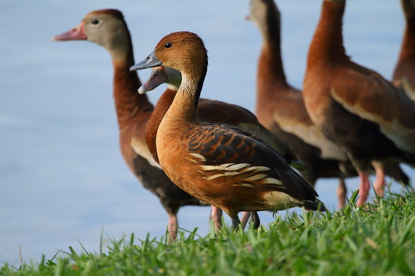 Fulvous Whistling Duck Dendrocygna bicolor Hack Lake, Bartow, Florida 19 February 2018