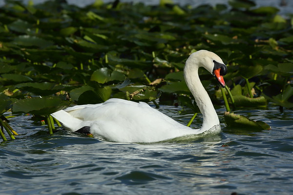 Mute Swan Cygnus olor Lake Morton, Lakeland, Florida 01 January 2021