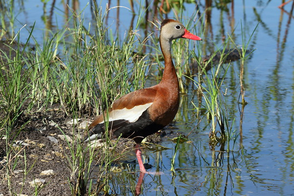 "Black-bellied Whistling Duck ""Northern"" subspecies Dendrocygna autumnalis fulgens Circle B Bar Reserve, Lakeland, Florida 19 June 2018"