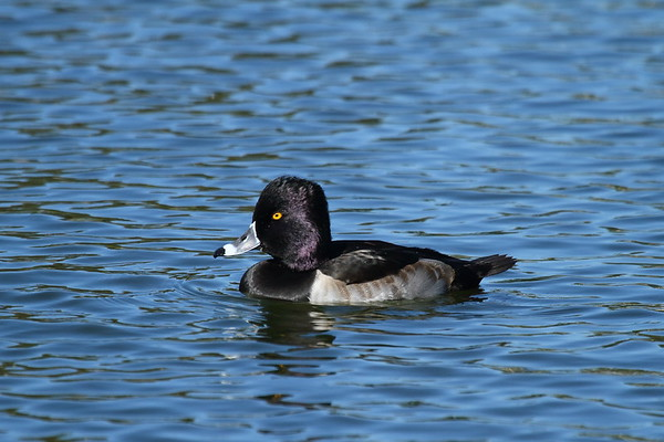 Ring-necked Duck (male) Aythya collaris Lake Mirror, Lakeland, Florida 15 November 2017
