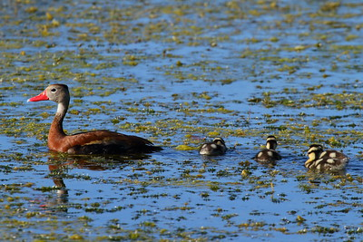 "Black-bellied Whistling Duck ""Northern"" subspecies Dendrocygna autumnalis fulgens Saddle Creek Park, Lakeland, Florida 11 October 2017"