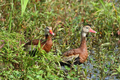 "Black-bellied Whistling Duck ""Northern"" subspecies Dendrocygna autumnalis fulgens Circle B Bar Reserve, Lakeland, Florida 22 November 2017"